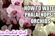 How to water Phalaenopsis orchids - tips for a healthy orchid...