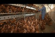 Healthy Hens. Feed and Water...