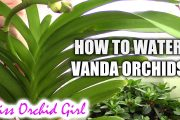 How to water Vanda orchids - tips for a healthy orchid...