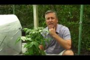 Growing Healthy Tomatoes in Containers...